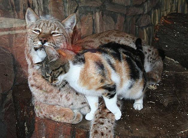 cat-lynx2