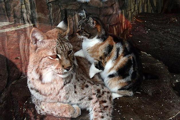 cat-lynx3