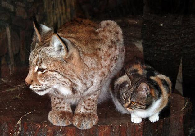 cat-lynx4