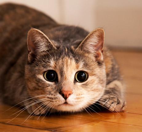 Pupilas retraídas  Quando o ambiente em que o gato está é muito iluminado,  ou em situações de tensão ou estado agressivo. E mais uma vez  levando em  ... e3b09780ec