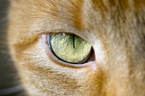 Gatos com uma pupila dilatada e outra contraída ao mesmo tempo, ou  simplesmente em tamanhos diferentes (Anisocoria) também podem estar com ... 266afedafa