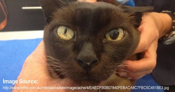 O que significa quando um gato está com as pupilas dilatadas ou ... 778952f5d8