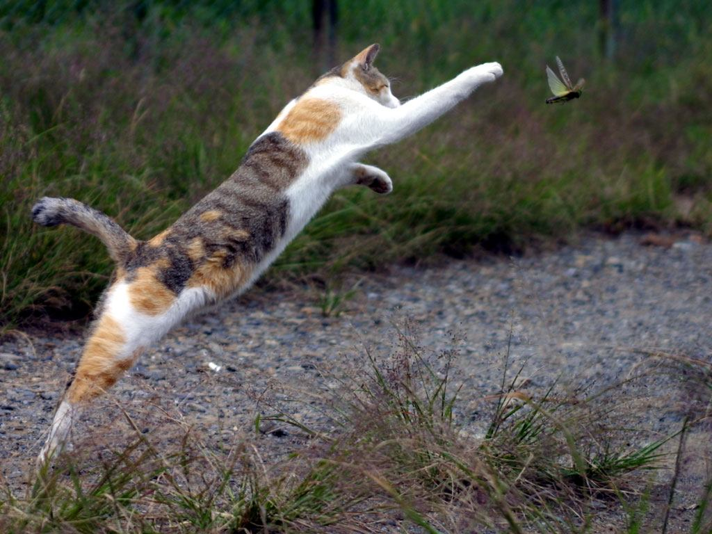 Gato caçando